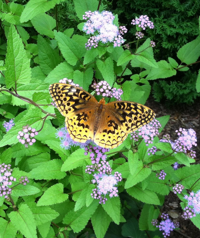 Fritillary butterfly on Boneset