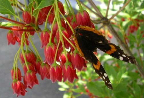 Red Admiral on Enkianthus