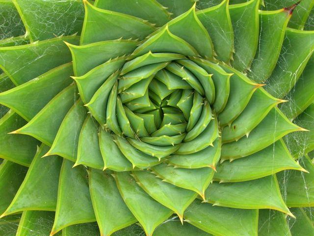 4 - Aloe polyphylla Schönland ex Pillans